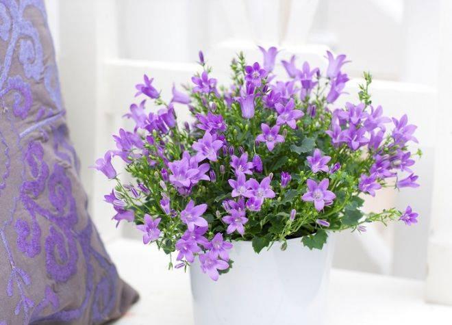 Цветок жених и невеста уход