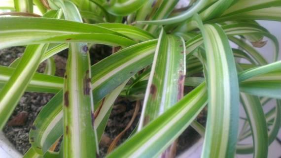 Почему сохнут кончики листьев у хлорофитума