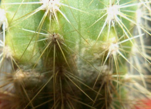 Почему желтеет кактус у основания