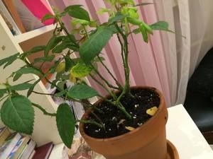 Комнатная роза желтеют листья что делать