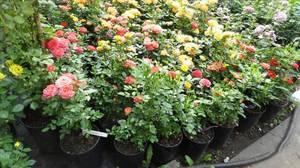 Бордюрная роза уход