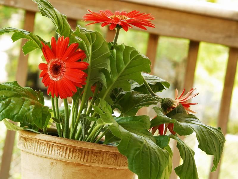 Цветы герберы посадка и уход