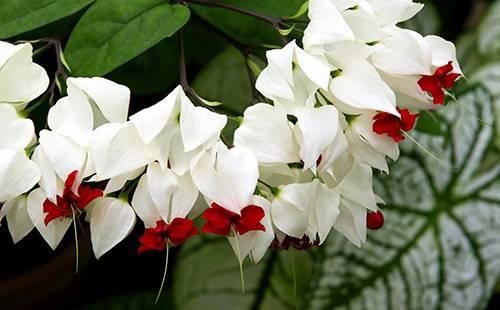 Цветок госпожа томпсон