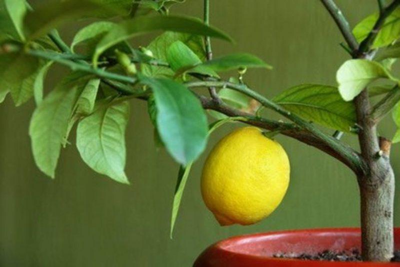 Уход за домашним лимоном