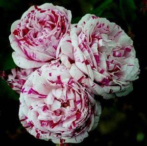 Розы шрабы что это