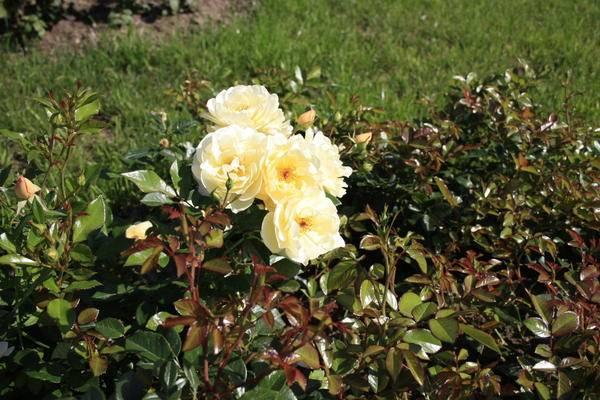 Подрезка роз