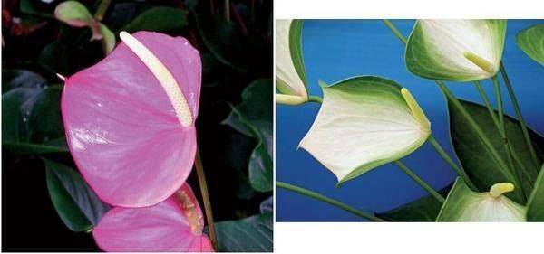 Антуриум значение цветка