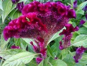 Целозия гребенчатая выращивание из семян