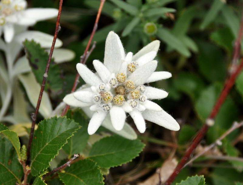 Цветы эдельвейсы