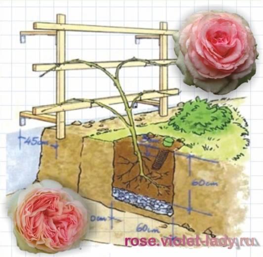 Роза пьер