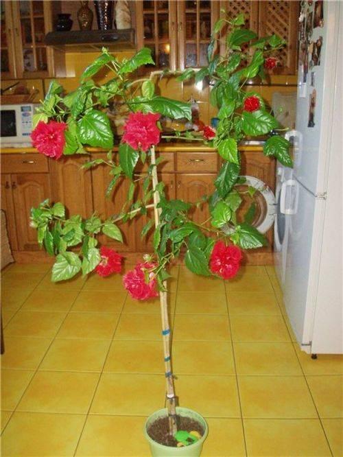 Советы как обрезать китайскую розу