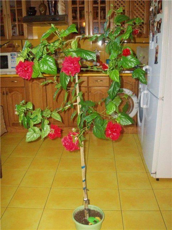 Как обрезать китайскую розу в домашних условиях