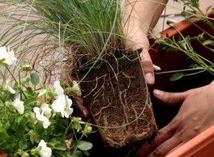 Можно ли пересаживать цветы во время цветения
