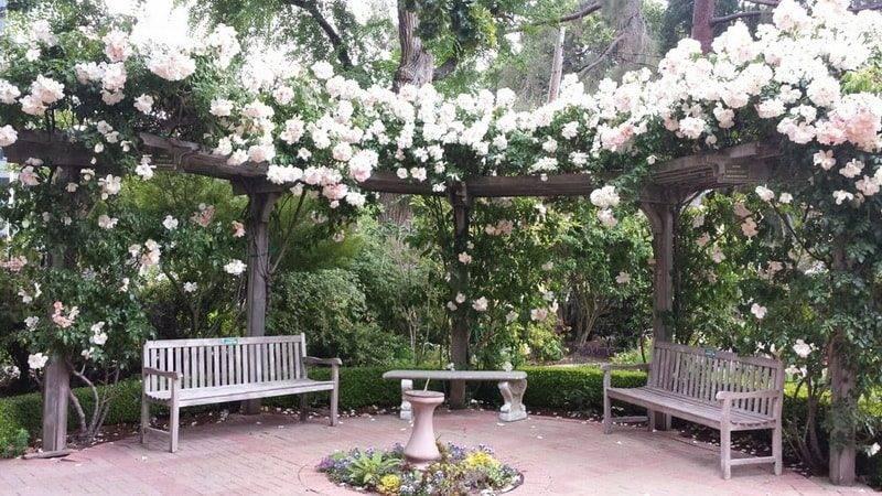 Цветы белые розы
