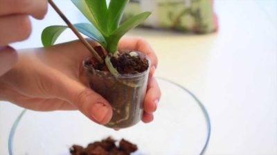 Как пересадить орхидею в горшок