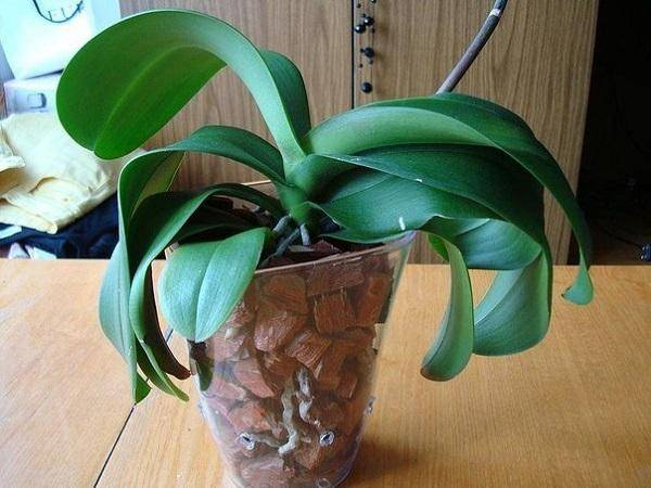 Привезла орхидею из вьетнама