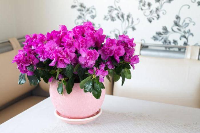 Какие комнатные цветы подходят овну женщине? 27