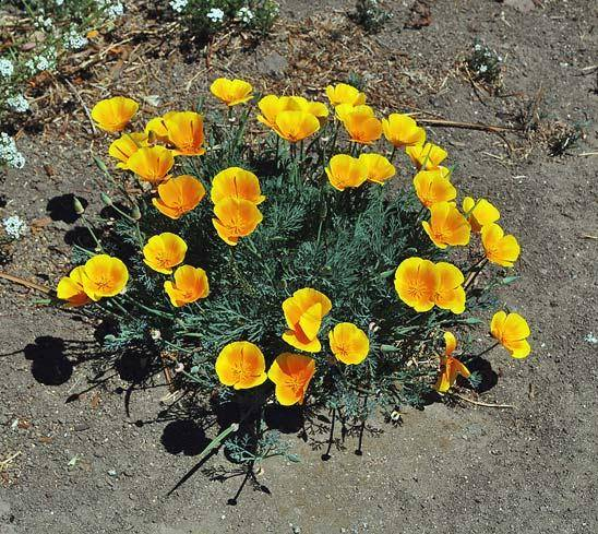 Калифорнийский мак цвет