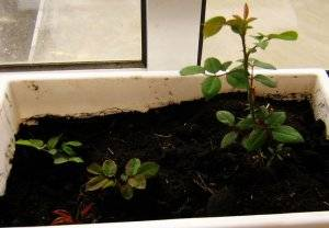 Посадка роз черенками в домашних условиях