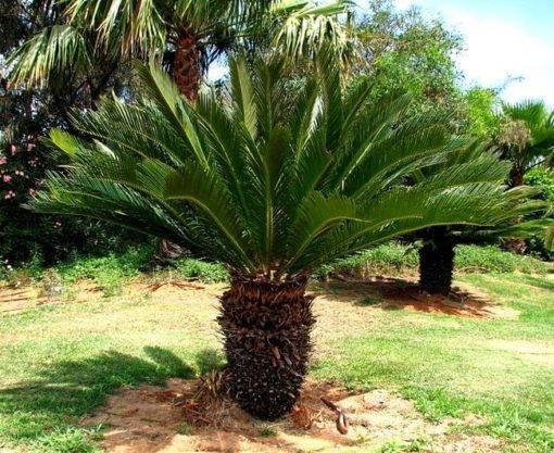 Что растет на пальмах