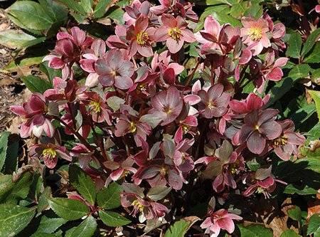 Ядовитые садовые цветы