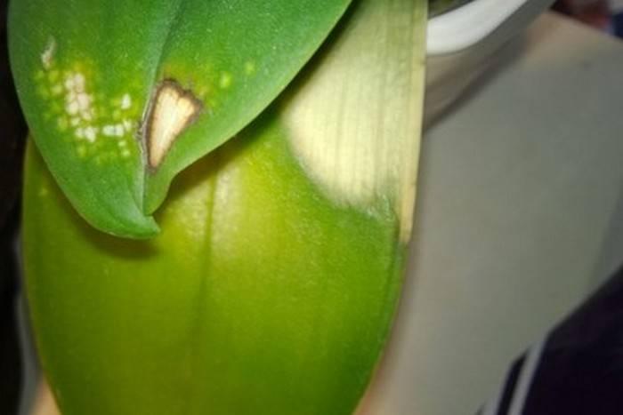 Черные точки на листьях орхидеи