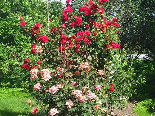 Как садить розы