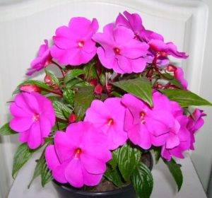 Цветок ванька