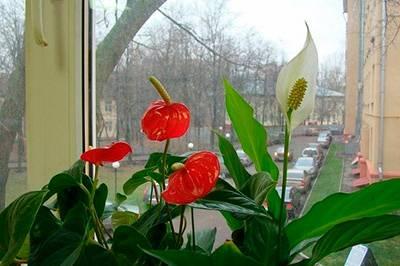 Белый антуриум цветок