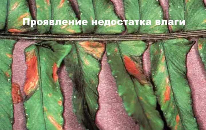 Адиантум венерин волос