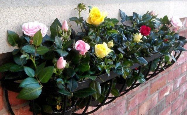 Роза кордана уход