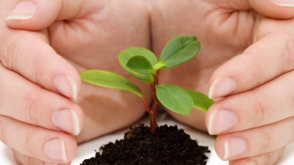 как развести порошок фитоспорина для полива рассады