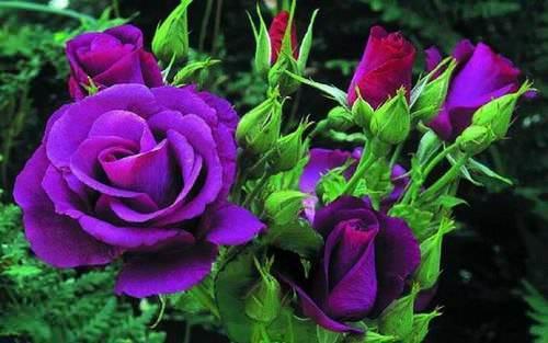 Фиолетовые розы очень востребованы у цветоводов-любителей