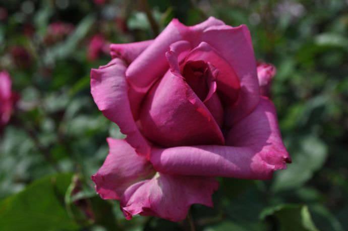 Розу принято относить к растениям прихотливым, нуждающимся в почвах с достаточным количеством питательных элементов и влаги