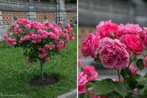 Роза плетистая розариум ютерсен посадка и уход