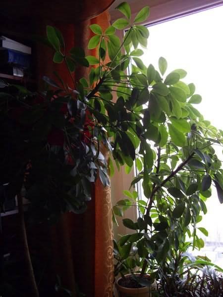 Размножение шефлеры черенками в домашних условиях