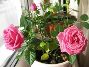 Почему не цветет комнатная роза