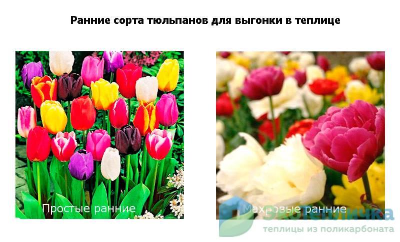 ранние сорта тюльпанов для выгонки в теплице