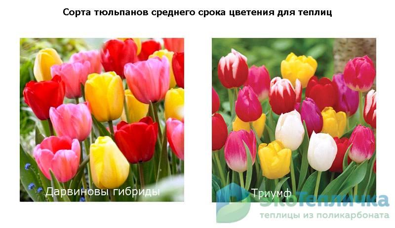 сорта тюльпанов среднего срока цветения для теплиц