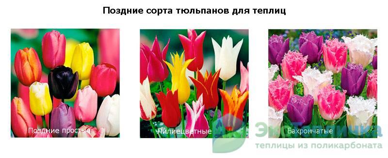 поздние сорта тюльпанов для теплиц