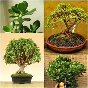 Растение крассула
