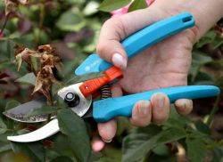 Как правильно обрезать розы после цветения