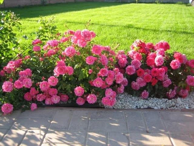 Растения многолетники для сада