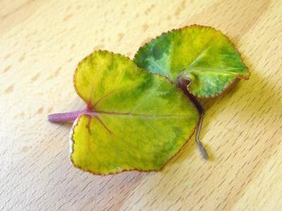 Цикламен желтеют листья что делать
