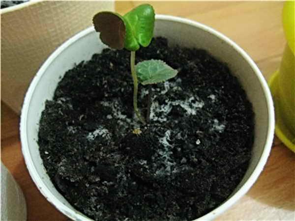 Плесневеет земля в цветочных горшках что делать