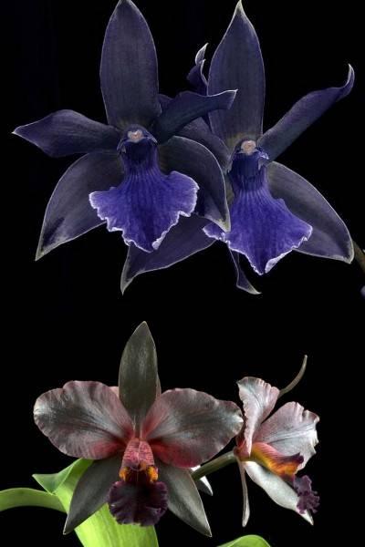 Цвет тёмной орхидеи