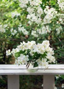Почему не цветет жасмин