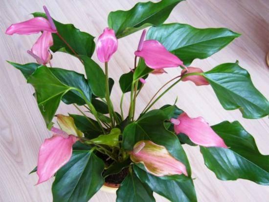 Почему сохнет цветок женское счастье