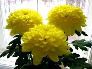 Хризантема уход и выращивание