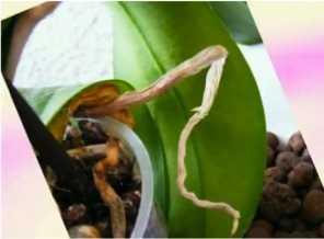 Чем протирать листья орхидеи